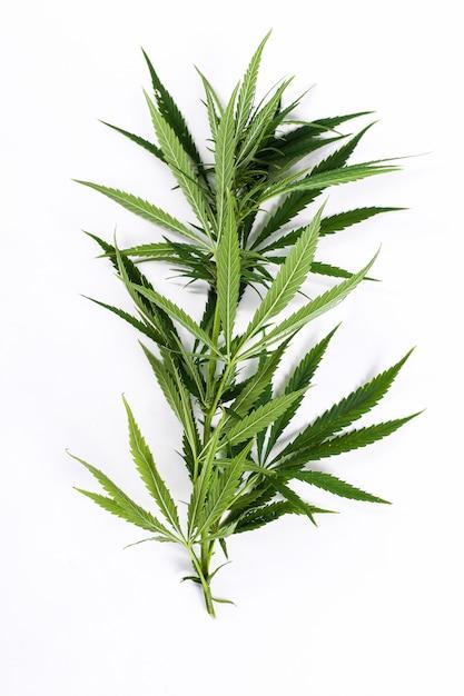 Cannabis leaf plant Free Photo