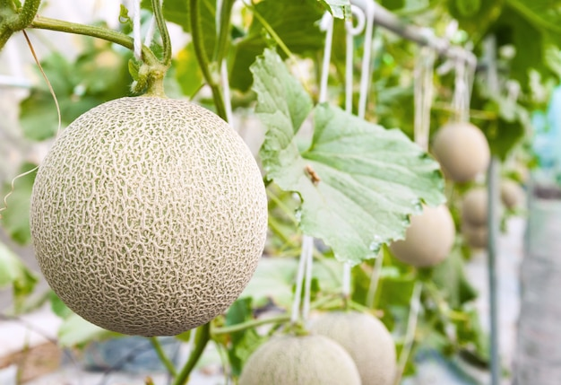Cantaloupe melons growing in a greenhouse supported by string melon nets (selective focus) Premium Photo