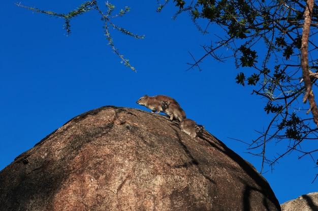 ケニアとタンザニア、アフリカのサファリのカピバラ Premium写真