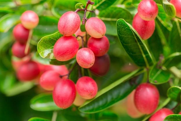 ベンガルカラントカリッサcarandas新鮮な熟した木 Premium写真