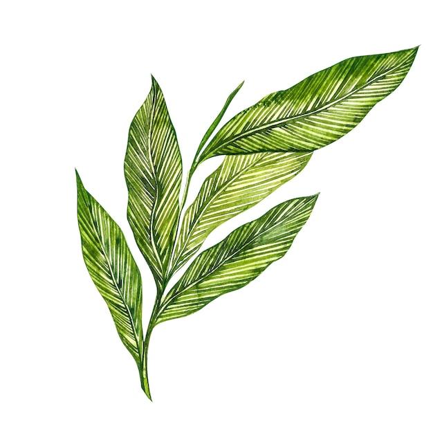 カルダモンの植物は手描きのスパイスの水彩イラストです。 Premium写真