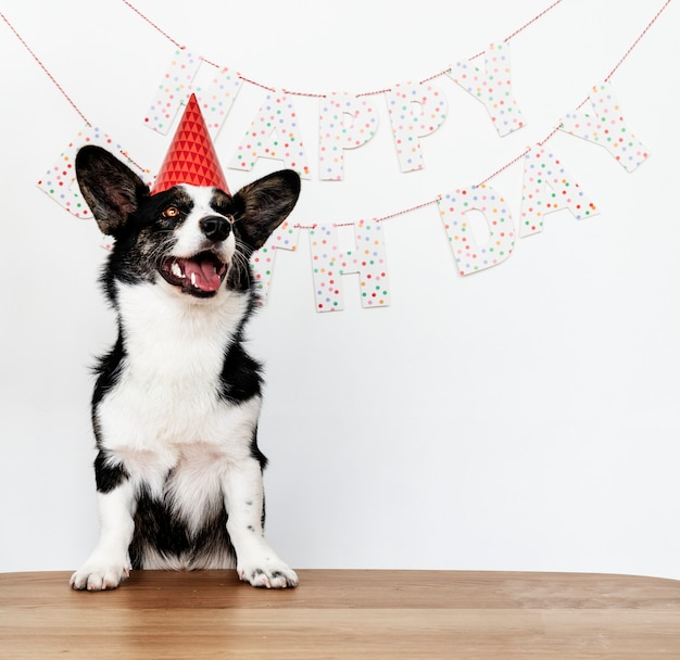 Cardigan welsh corgi wearing a red party cap Free Photo