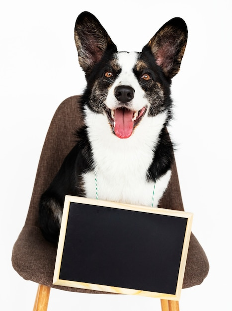 Cardigan welsh corgi with an empty board hanging around his neck Free Photo