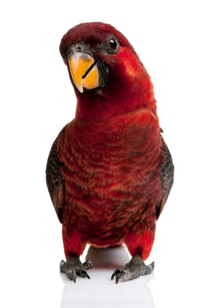 로리 추기경, Chalcopsitta Cardinalis, 서 프리미엄 사진