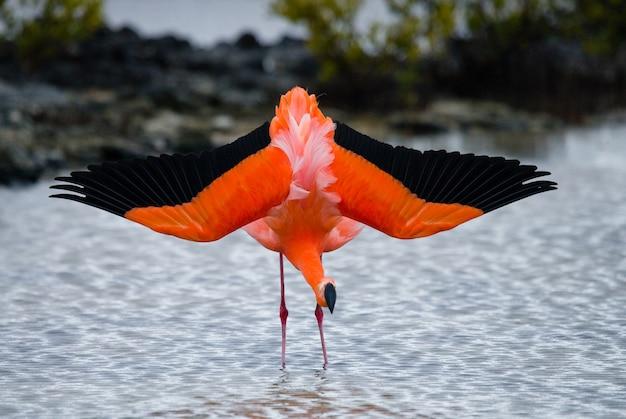 Caribbean flamingos standing in the lagoon. the galapagos islands. birds. ecuador. Premium Photo