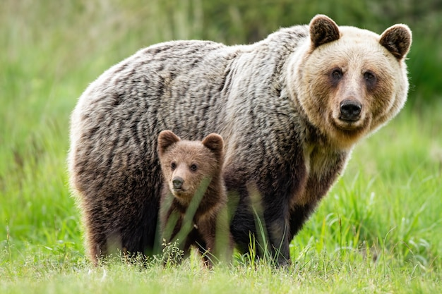 A caring she-bear protecting her little cub from danger Premium Photo