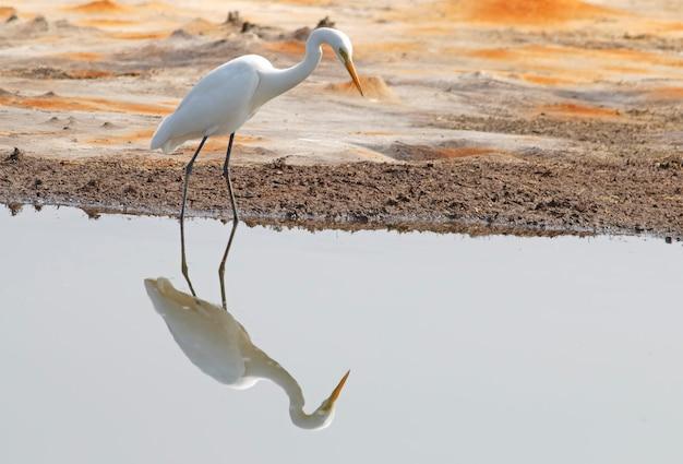 素晴らしい白鷺casmerodiusアルバスタイの美しい鳥反射 Premium写真