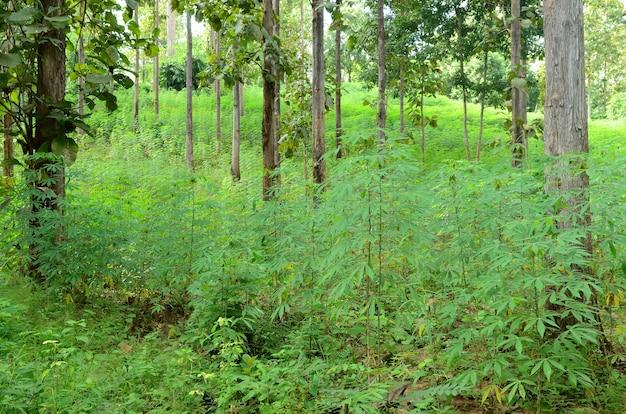 Cassava farm in thailand Premium Photo