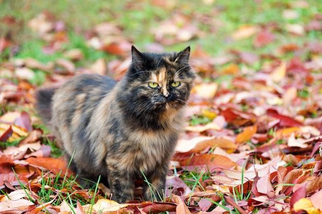 Cat in autumn park. tortoiseshell kitten walking on colorful fallen leaves outdoor. Premium Photo