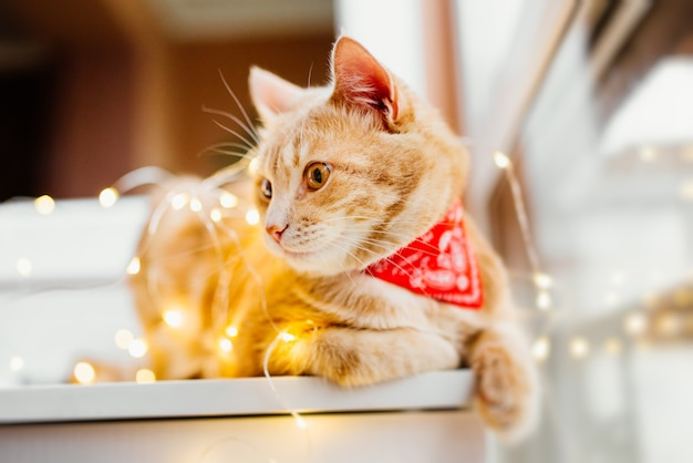 Cat and christmas lights. cute ginger cat lying near the window and play with lights. Free Photo