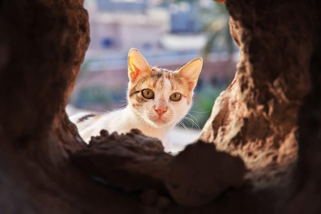 The cat in ghardaia city, sahara desert, algeria Premium Photo