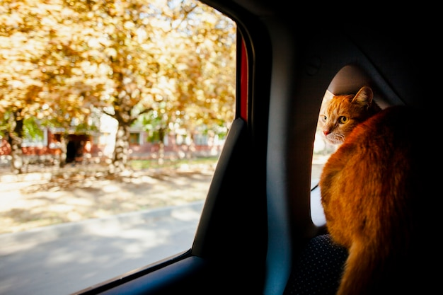 Cat looking outside from a window car Free Photo