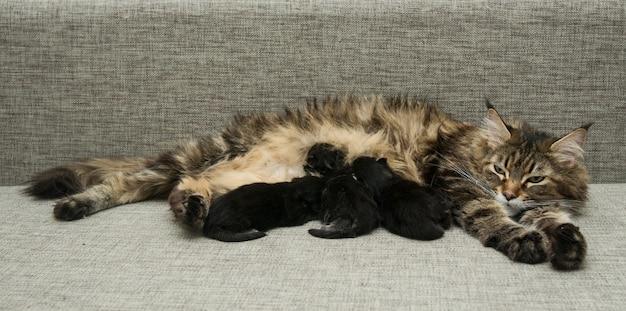 Cat mother feeds her kittens milk Premium Photo