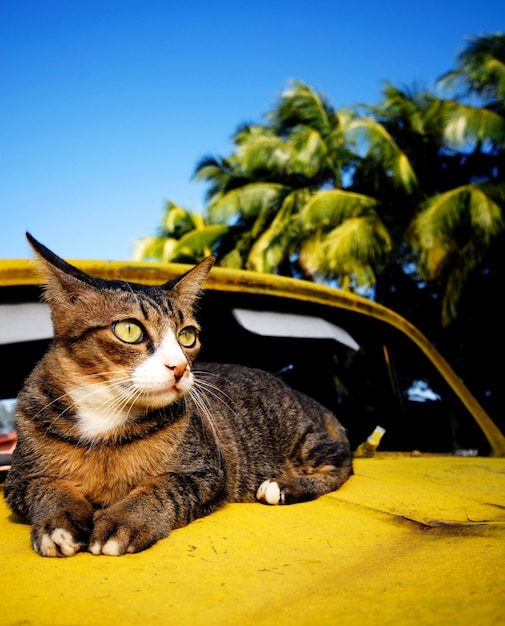 Cat relaxing on an old classic car on a tropical island Premium Photo