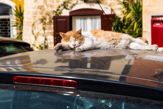 Cat resting on the hot roof of a car. Premium Photo