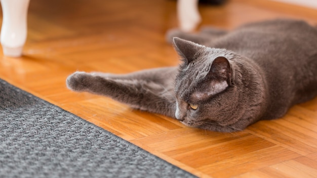 Cat resting on the house floor Free Photo