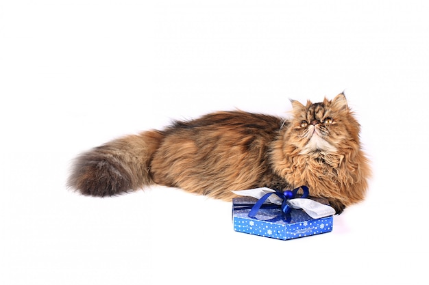 Cat with gift box isolated on white background. tricolor persian cat Premium Photo