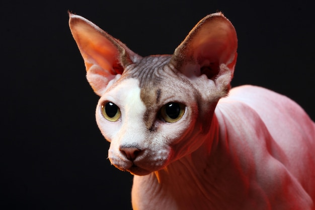 Cat without hair Free Photo
