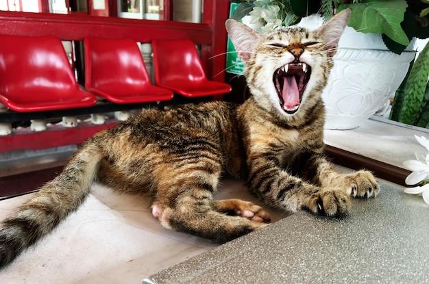 Cat yawning Free Photo