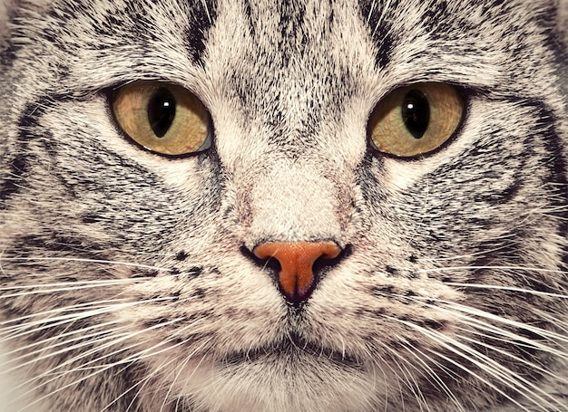 Cat лицо крупным планом Бесплатные Фотографии