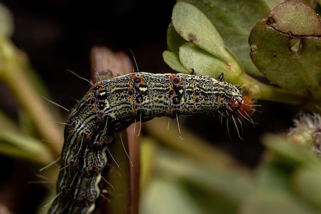Гусеница отряда чешуекрылых, поедающая портулака обыкновенного вида portulaca oleracea Premium Фотографии