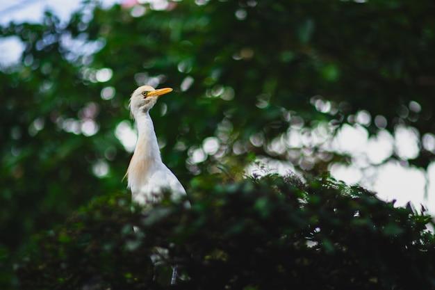 Airone guardabuoi con un lungo becco giallo su un ramo di un albero con uno sfondo sfocato ed effetto bokeh Foto Gratuite