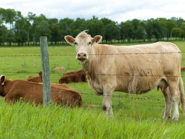 Cattle in a field, manitoba, canada Premium Photo