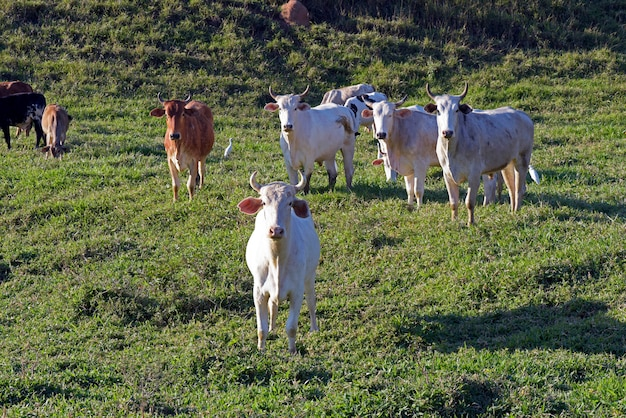 Cattle in pasture, sao paulo state, brazil Premium Photo