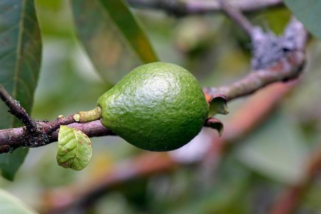 Cattley guava or araca in tree Premium Photo