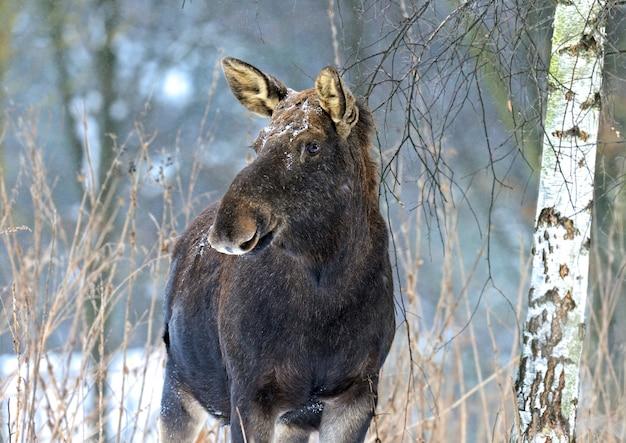 Cautious portrait elk winter forest Premium Photo