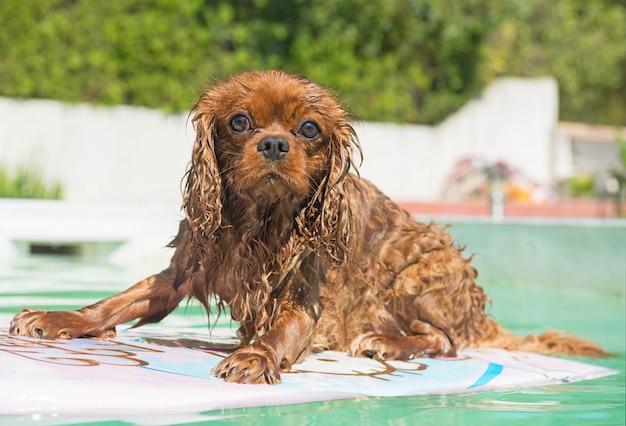 Cavalier king charles in swimming pool Premium Photo