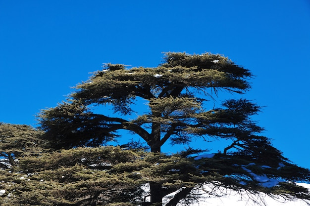 The cedar forest in mountains of lebanon Premium Photo