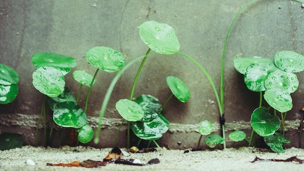 Centella asiatica pennywortハーブ植物 Premium写真