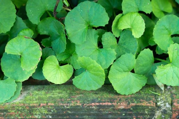 Centella asiaticaの葉 Premium写真