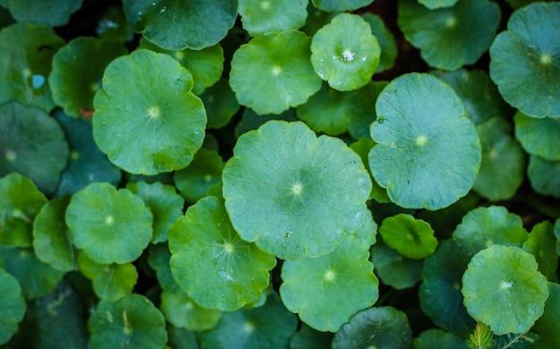 Centella asiaticaの美しい背景 Premium写真