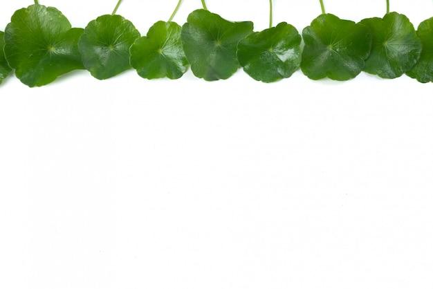 アジアの葉ハーブゴツコラ、インドペニーワート、centella asiatica、熱帯ハーブ Premium写真