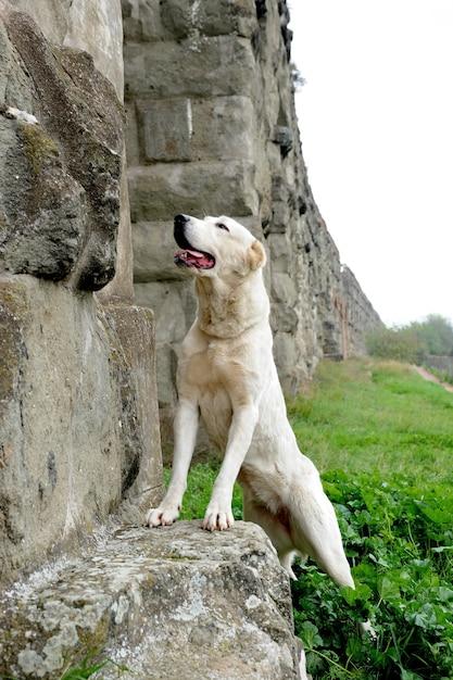 Central asia shepherd dog Premium Photo