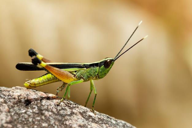 岩の上のサトウキビの白い先端のイナゴ(ceracris fasciata)のイメージ。昆虫。動物。 caelifera。、アクリ科 Premium写真