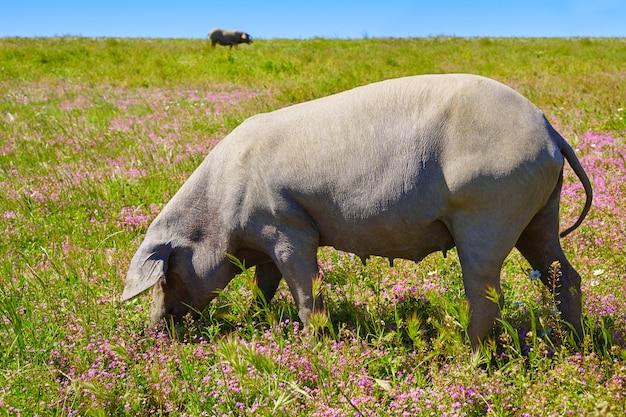 Dehesa 스페인의 Cerdo Iberico Iberian 돼지 고기 프리미엄 사진