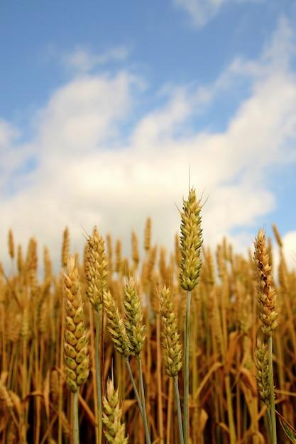 «зерновые, растущие на поле» Бесплатные Фотографии