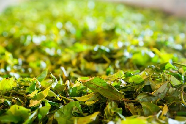 セイロンティーブッシュ、スリランカの緑のプランテーション Premium写真
