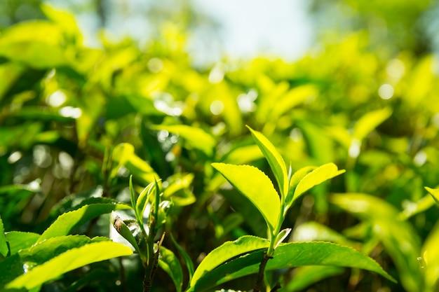 セイロン茶緑植物のクローズアップビュー、スリランカのプランテーション。収穫畑 Premium写真