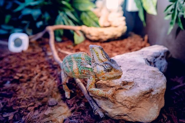 Camaleonte che cerca di arrampicarsi su un pezzo di roccia su foglie secche marroni Foto Gratuite