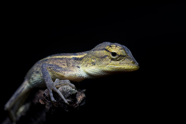Chameleon Free Photo