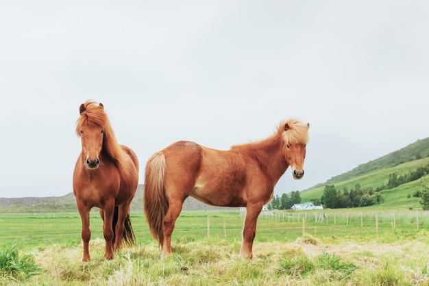 Charming icelandic horses in a pasture with mountains in the background Premium Photo