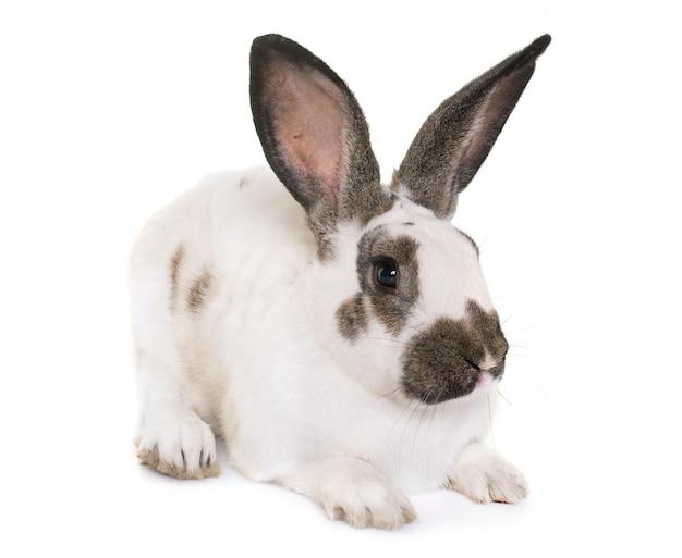 Checkered giant rabbit Premium Photo