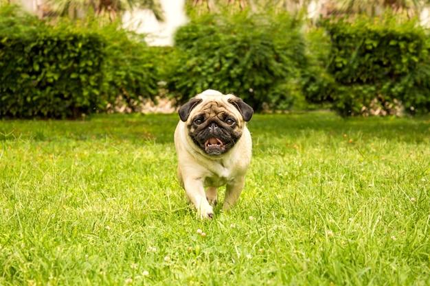 Cheerful pug dog running through green grass Premium Photo