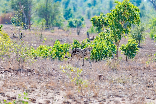 Cheetah in hunting position ready to run for an ambush. Premium Photo
