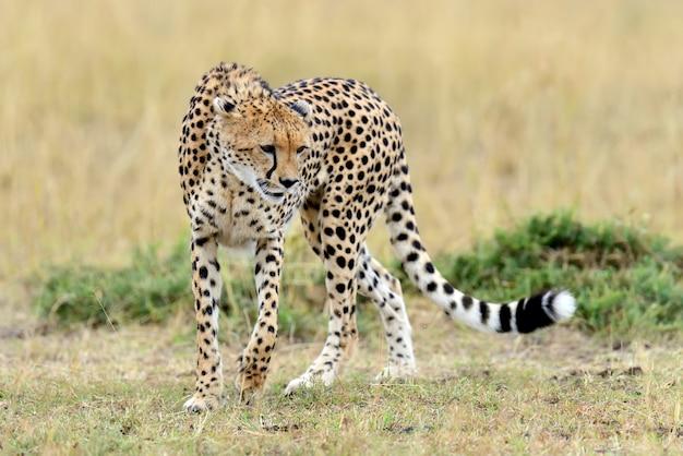 アフリカ国立公園の草原のチーター 無料写真