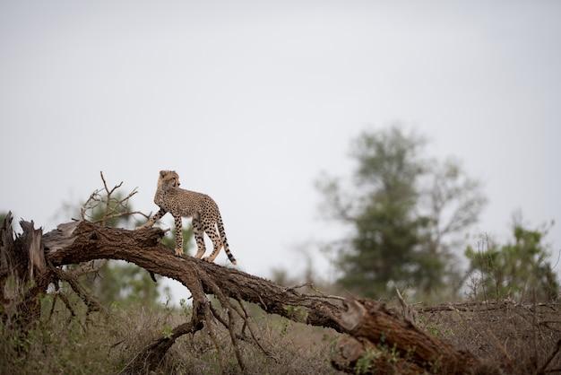 枯れ木の上に立っているチーター 無料写真